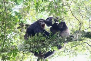 Chimp Rwanda