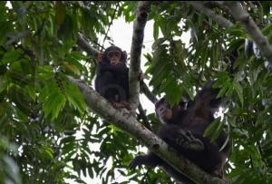 Chimpaaa