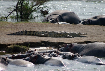 Take a closer view of both hippos and the crocodile