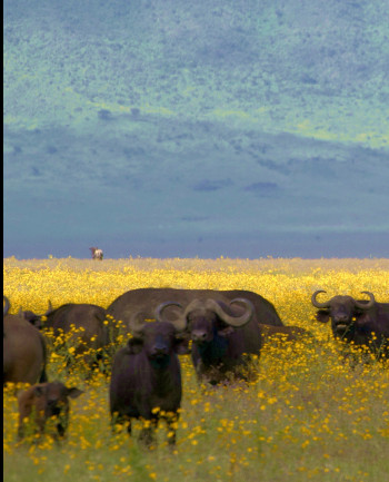 Buffaloes in Ngorongoro crater...