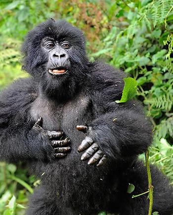 gorilla6