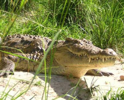croc35
