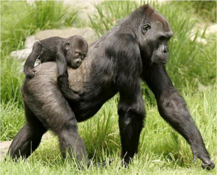 gorilla51