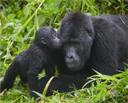 gorilla53