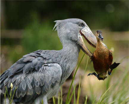This goofy-looking motherfucker here is the Shoebill. - Album on Imgur