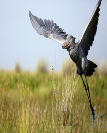 The elusive shoebill stork can be found in Uganda